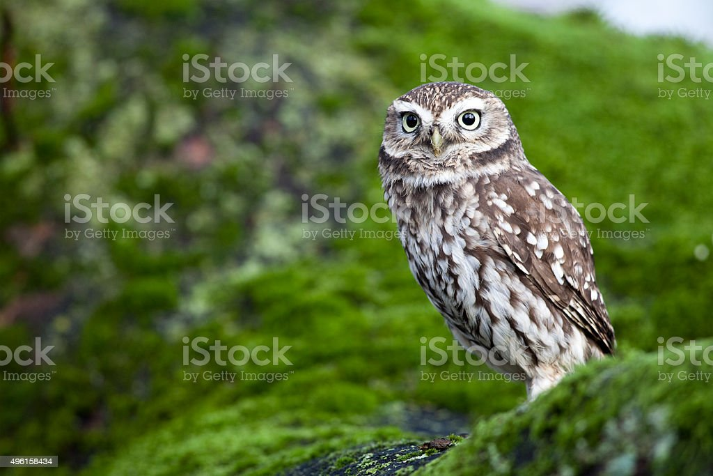 Little Owl (Athene noctua) stock photo