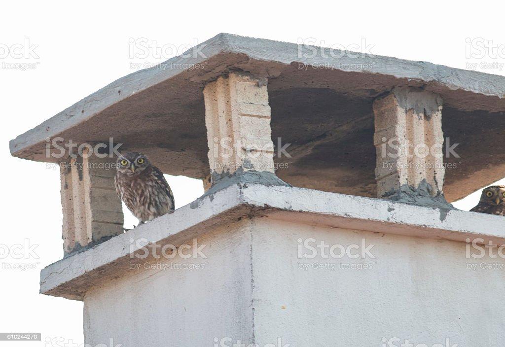 Little Owl (Athene nocthua) stock photo