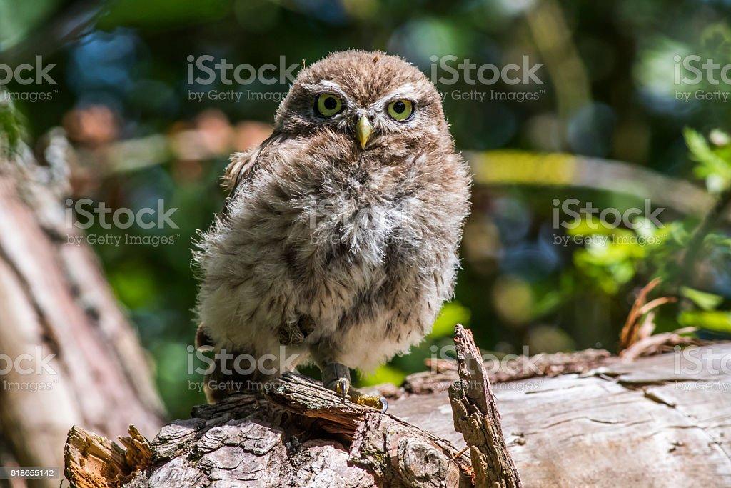 Little owl (Athene noctua) stock photo