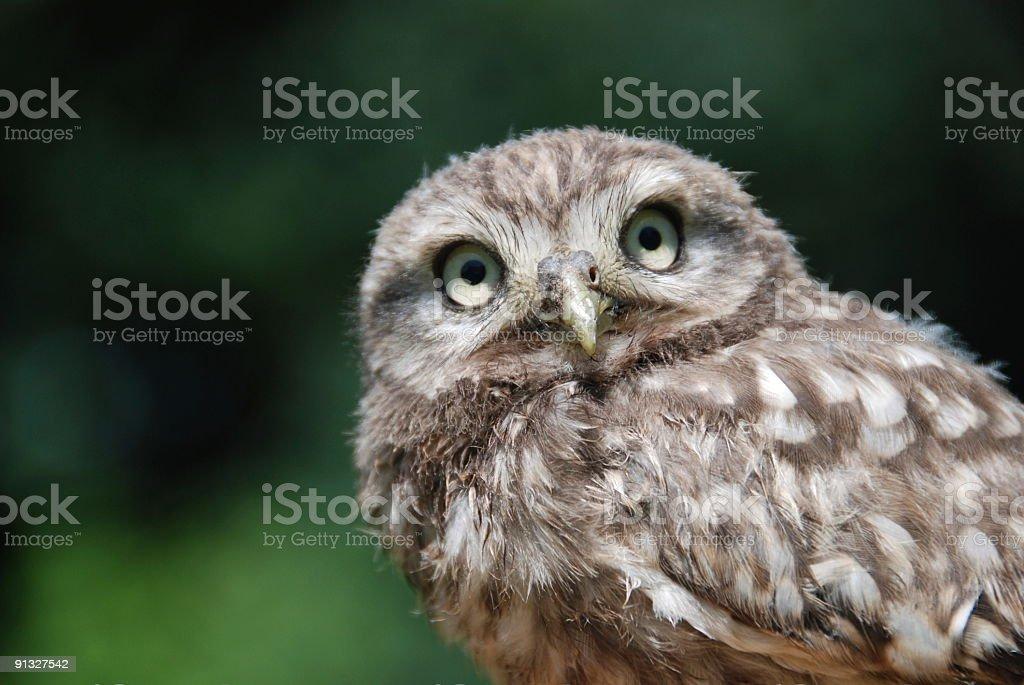 Little Owl (Athene Noctua) royalty-free stock photo
