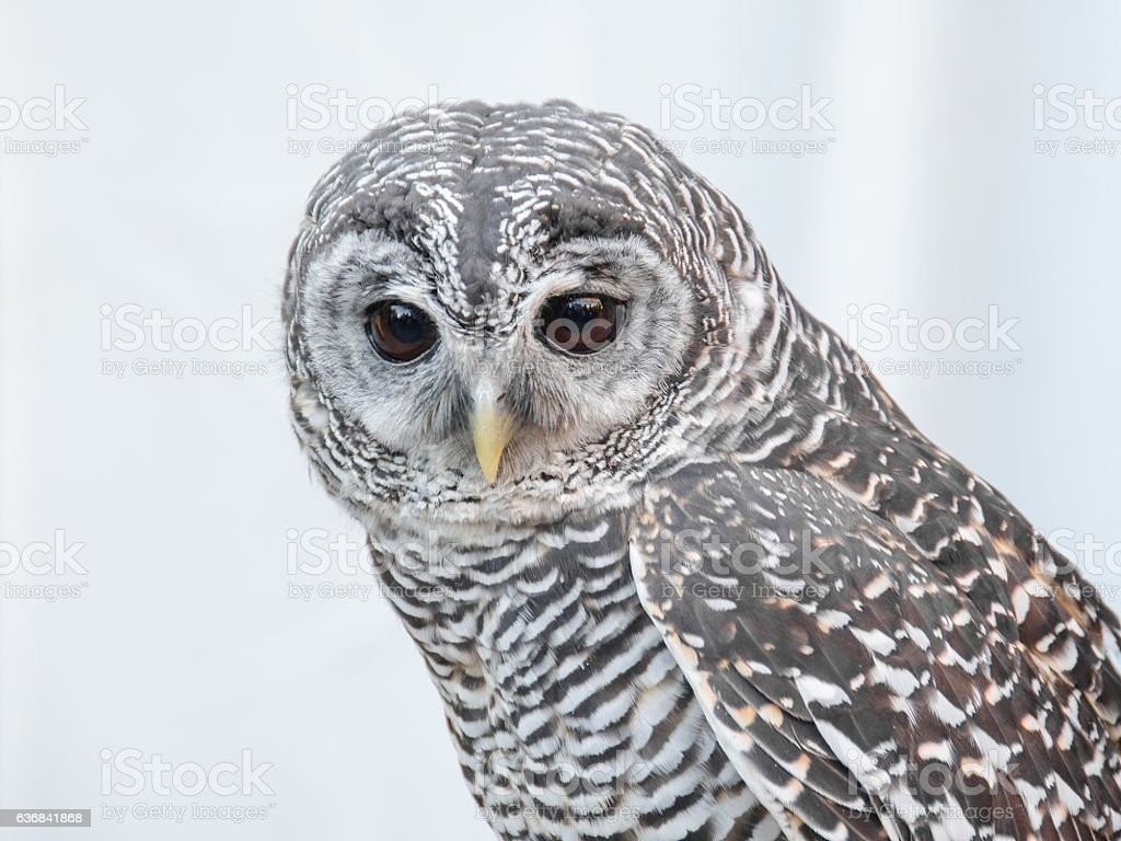 Little owl portrait stock photo