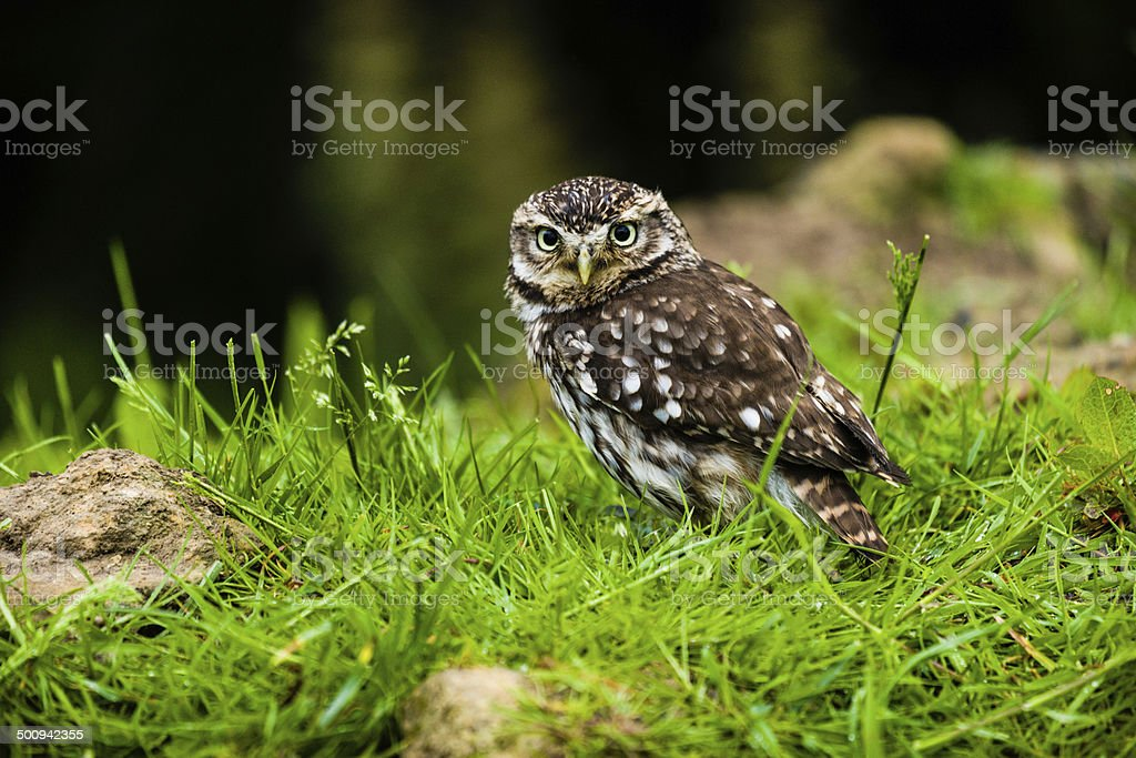 Little Owl Scavenging On Farmland stock photo