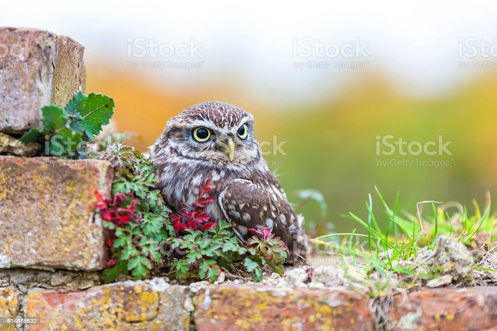 Little Owl Sitting On a Wall stock photo