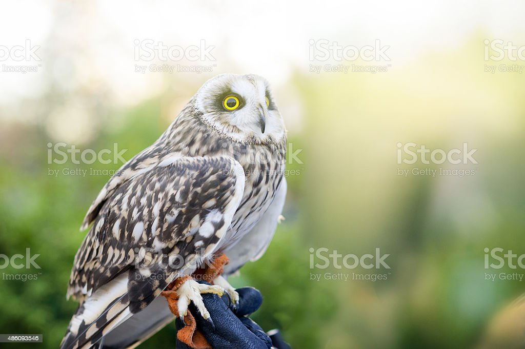 little owl sitting on human's hand with backlight stock photo