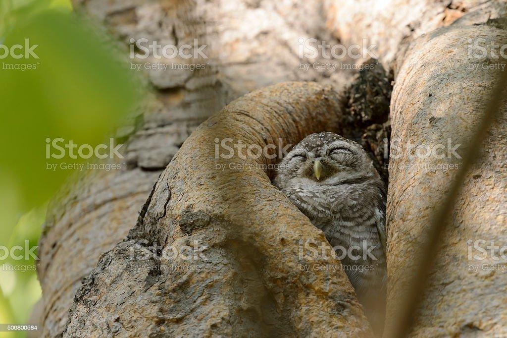 Little owl sleeping in the tree stock photo