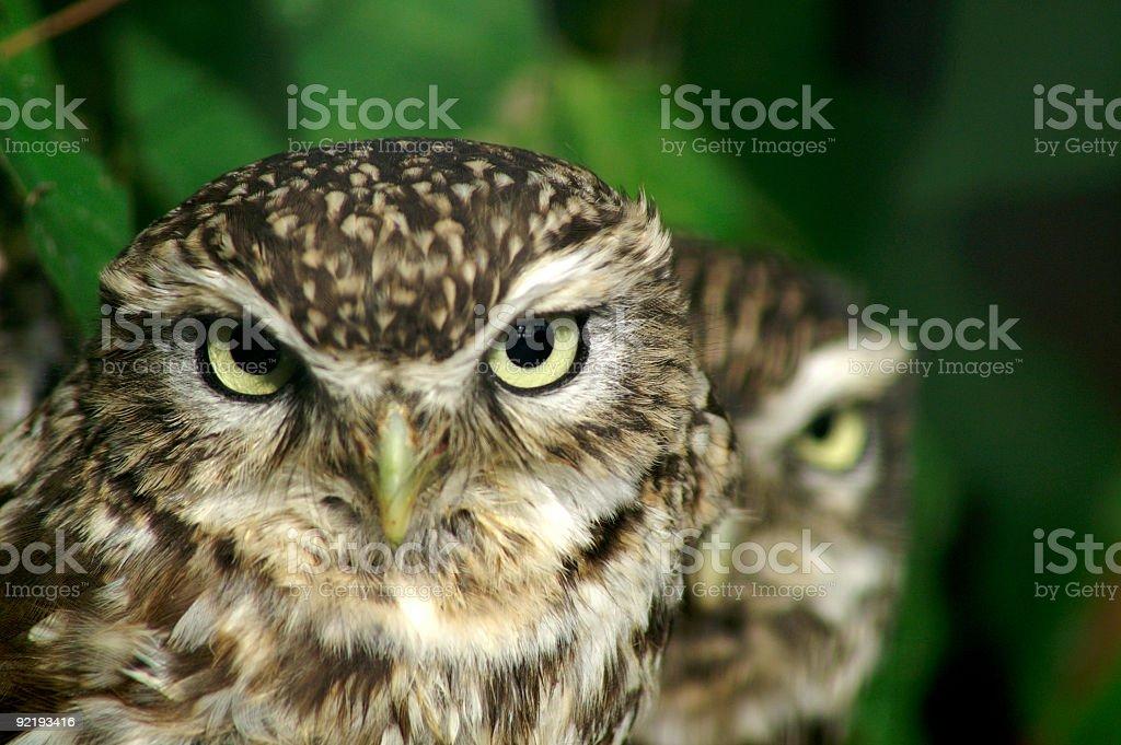 Little Owl stare stock photo