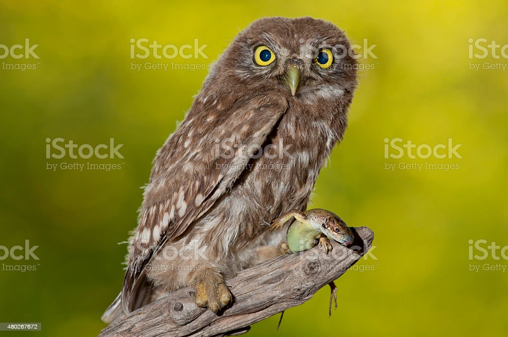 little owl (Athene noctua) with a booty stock photo