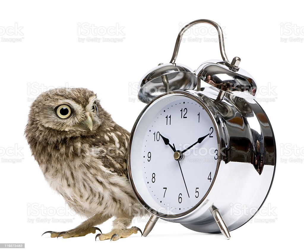 Little Owl with alarm clock, 50 days old, Athene noctua. royalty-free stock photo