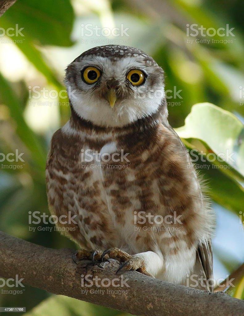 Little owlet stock photo