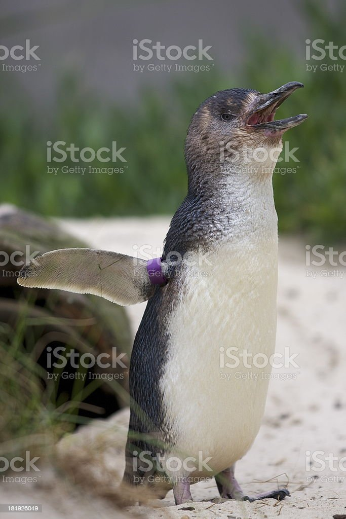Little penguin royalty-free stock photo
