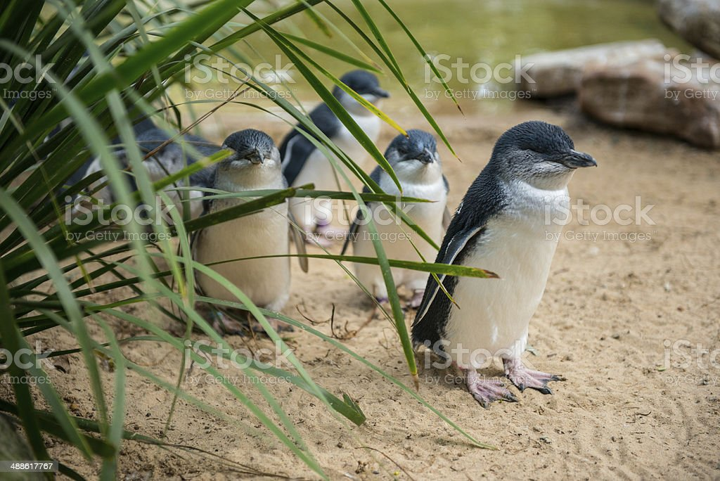 Little Penguins in Australia stock photo