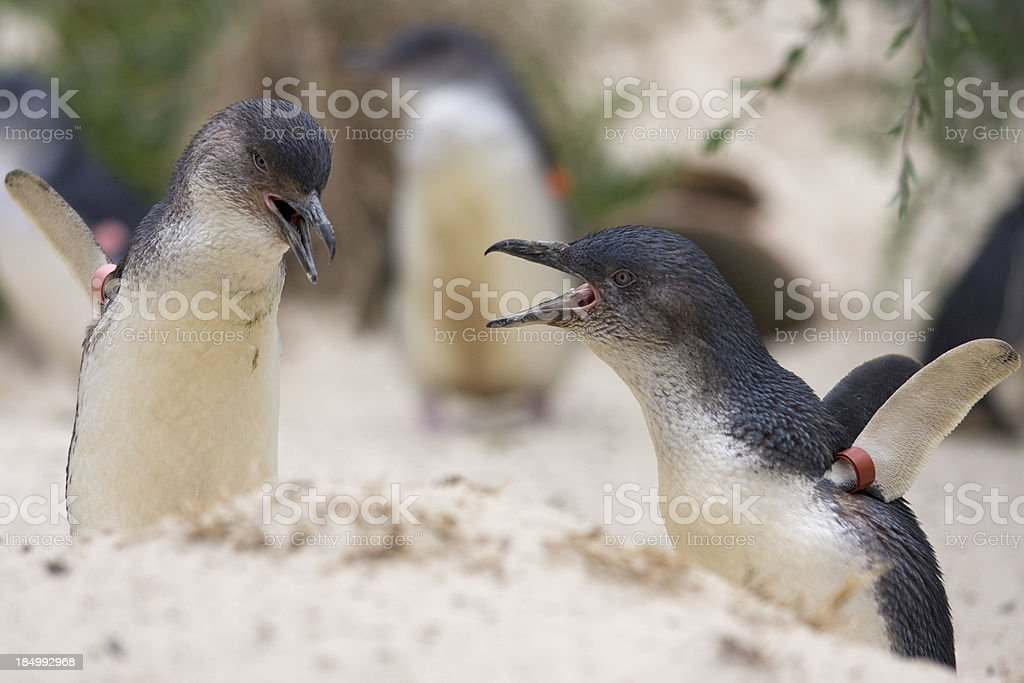 Little Penguins royalty-free stock photo