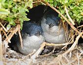 Little Penguins/Fairy Penguins (Eudyptula Minor) breeding in Wildlife, Australia (XXXL)