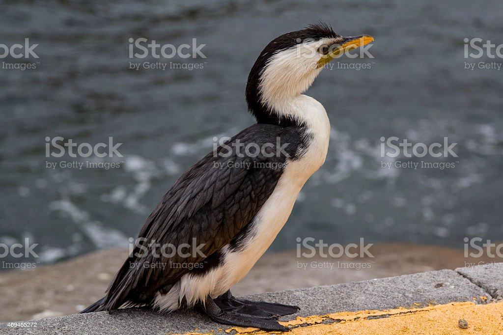 Little Pied Cormorant stock photo