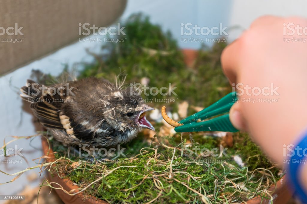 Little pied wagtail gets feeded by hand with tweezers stock photo