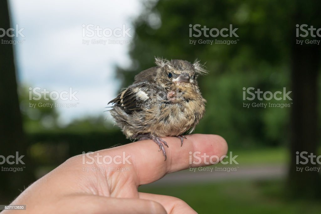 Little pied wagtail sitting on a finger stock photo