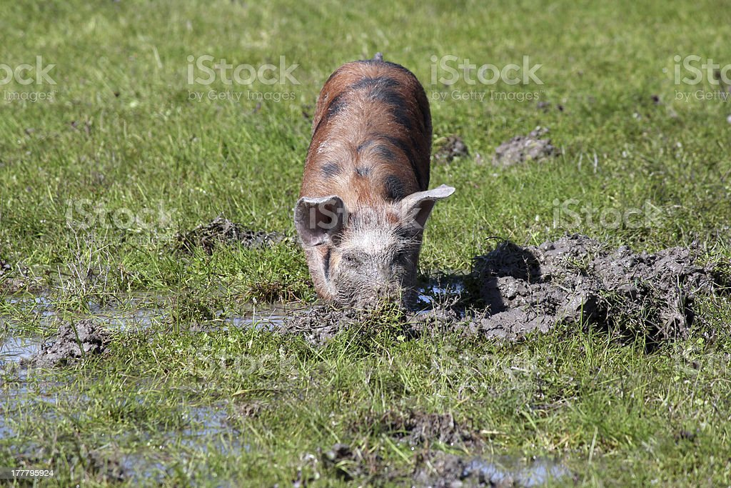 little pig in a mud farm scene royalty-free stock photo
