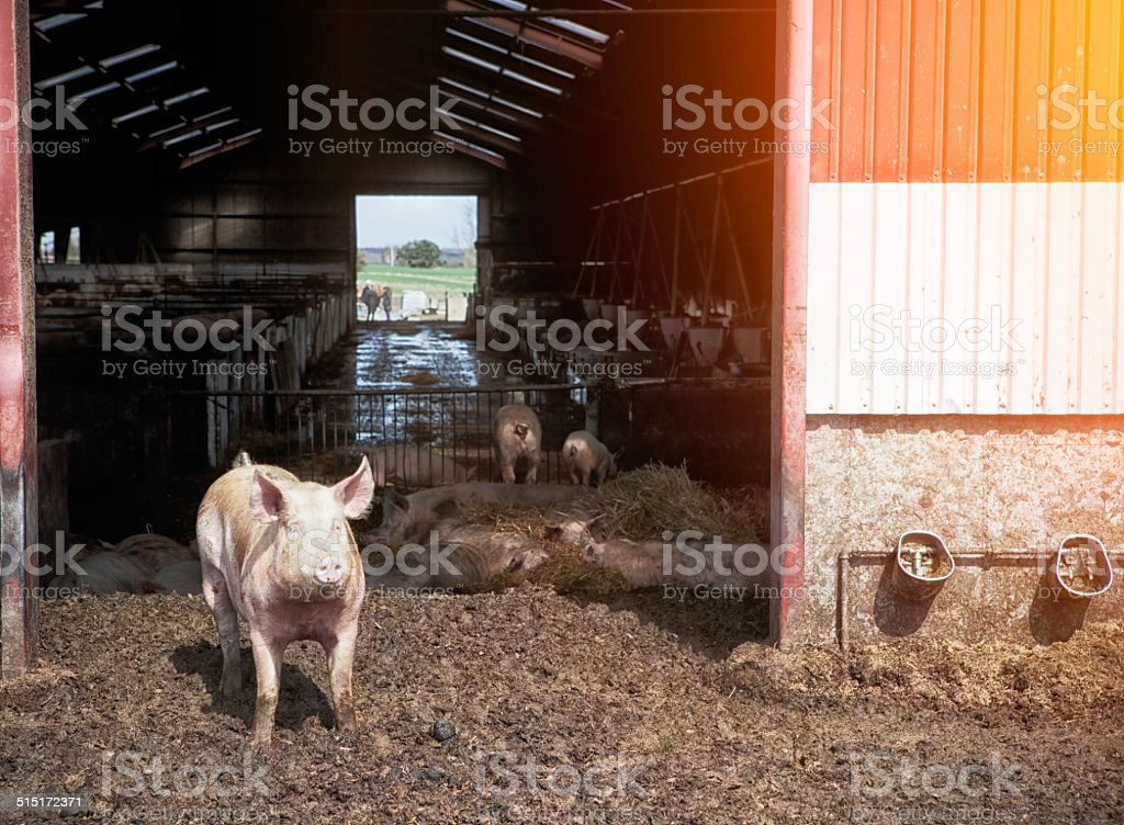 Little pig in front of eco farm. stock photo
