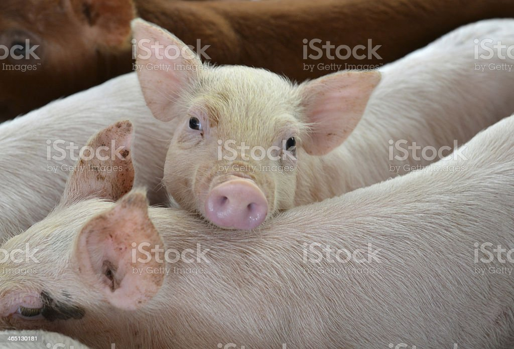 Little piglet with innocent eye. stock photo