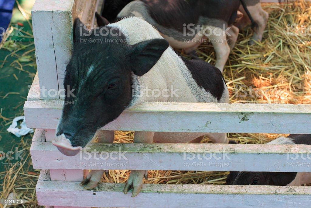 мало поросят голодных молоко Стоковые фото Стоковая фотография