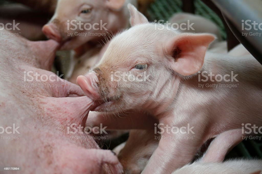 Little piglets suckling their mother stock photo