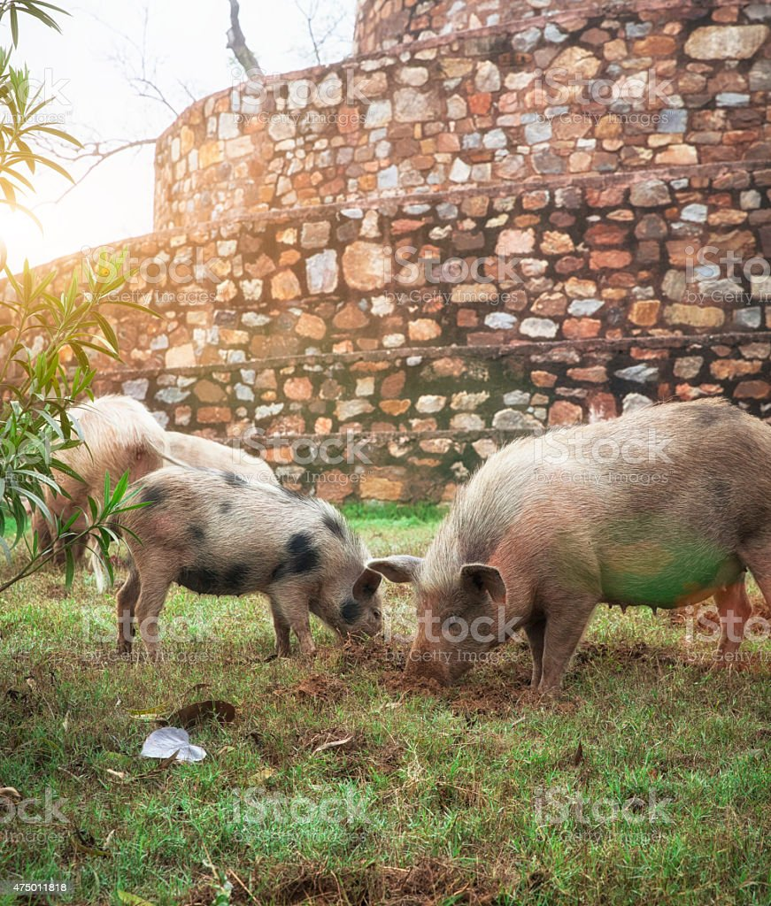 4 Little Pigs in India stock photo