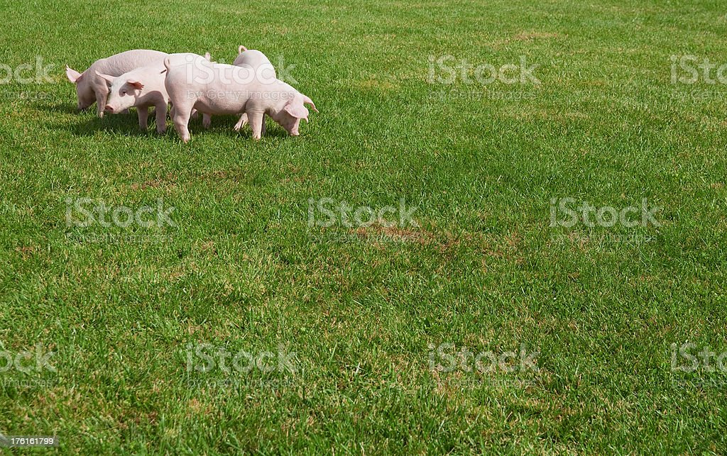 Little Pigs stock photo