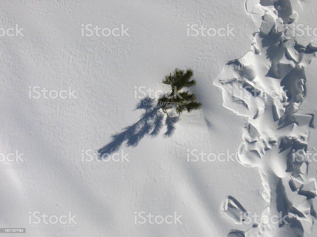 little pine royalty-free stock photo