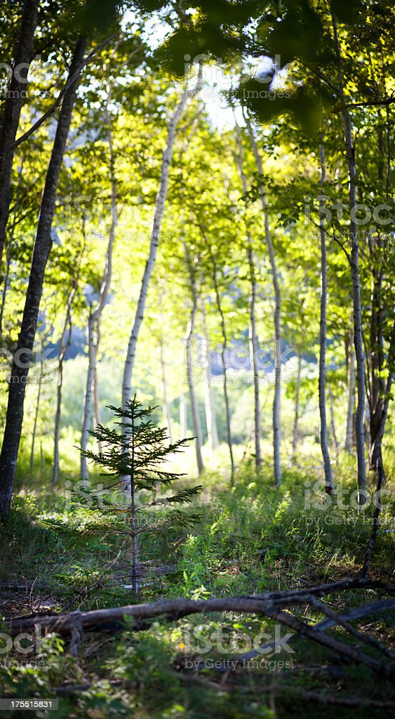 Little Pine Tree Sapling Amongst Birch Trees stock photo