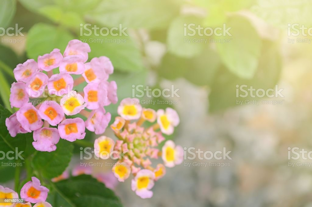 Little pink flower with sunlight in garden stock photo