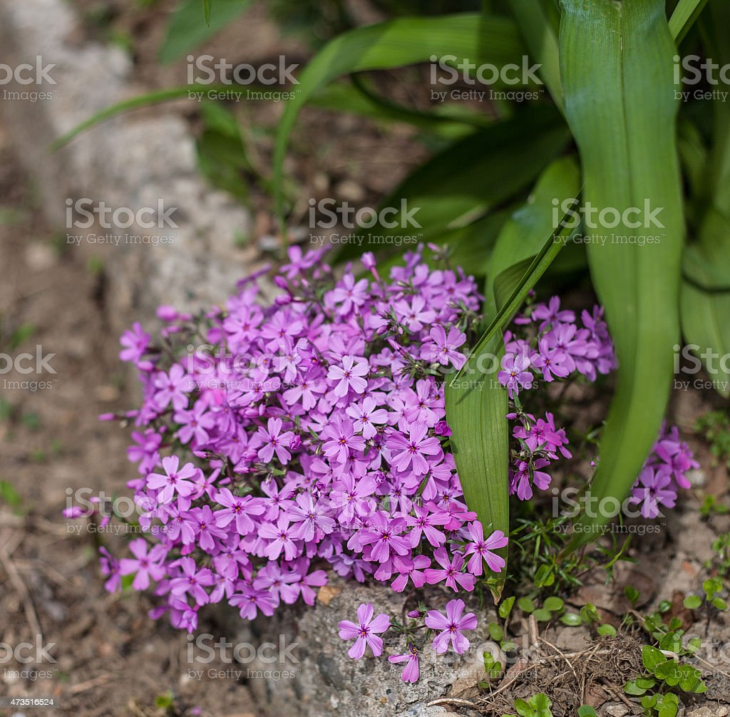 Little pink flowers royalty-free stock photo