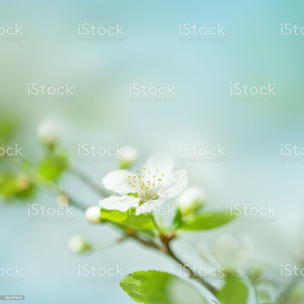 Little plum blossom on a plum tree royalty-free stock photo