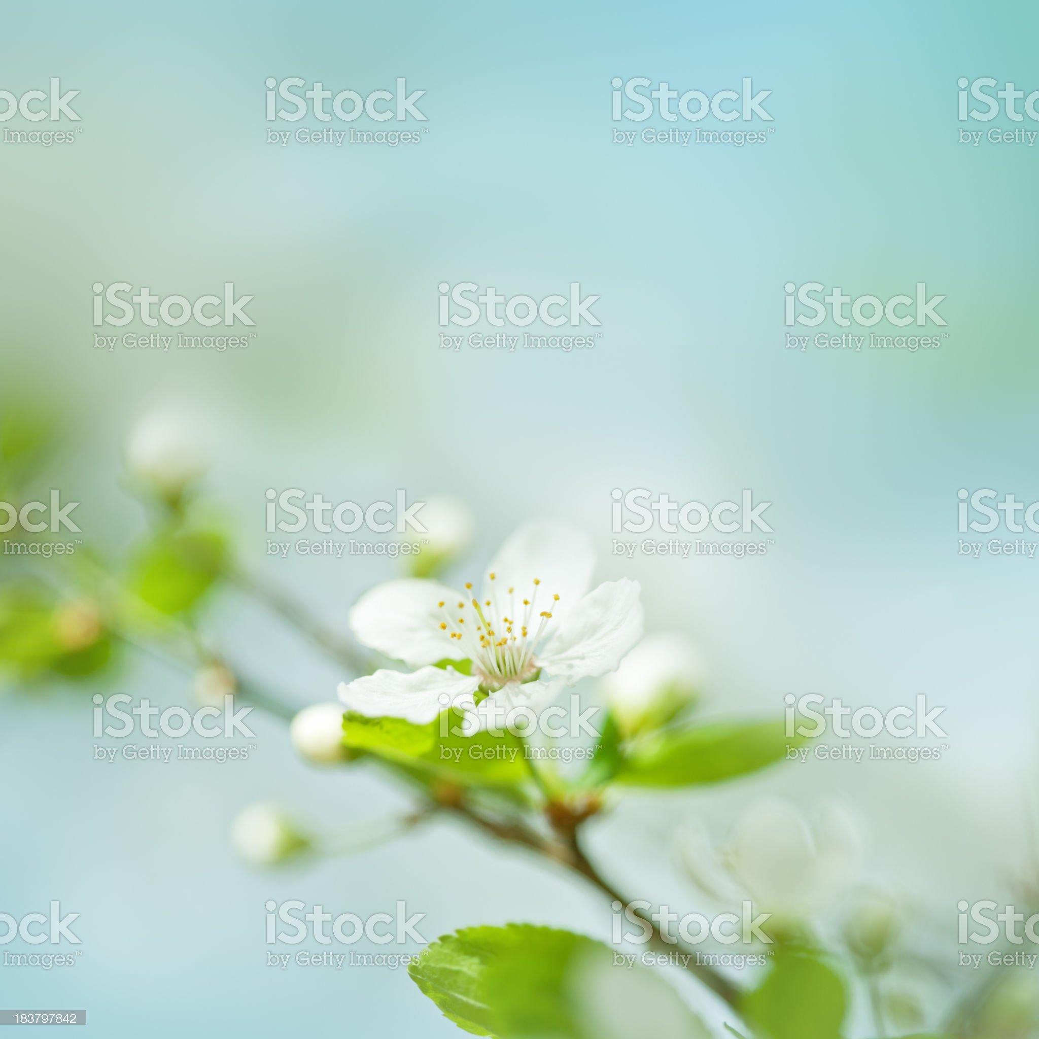 Little plum blossom on a plum tree royalty-free stock photo