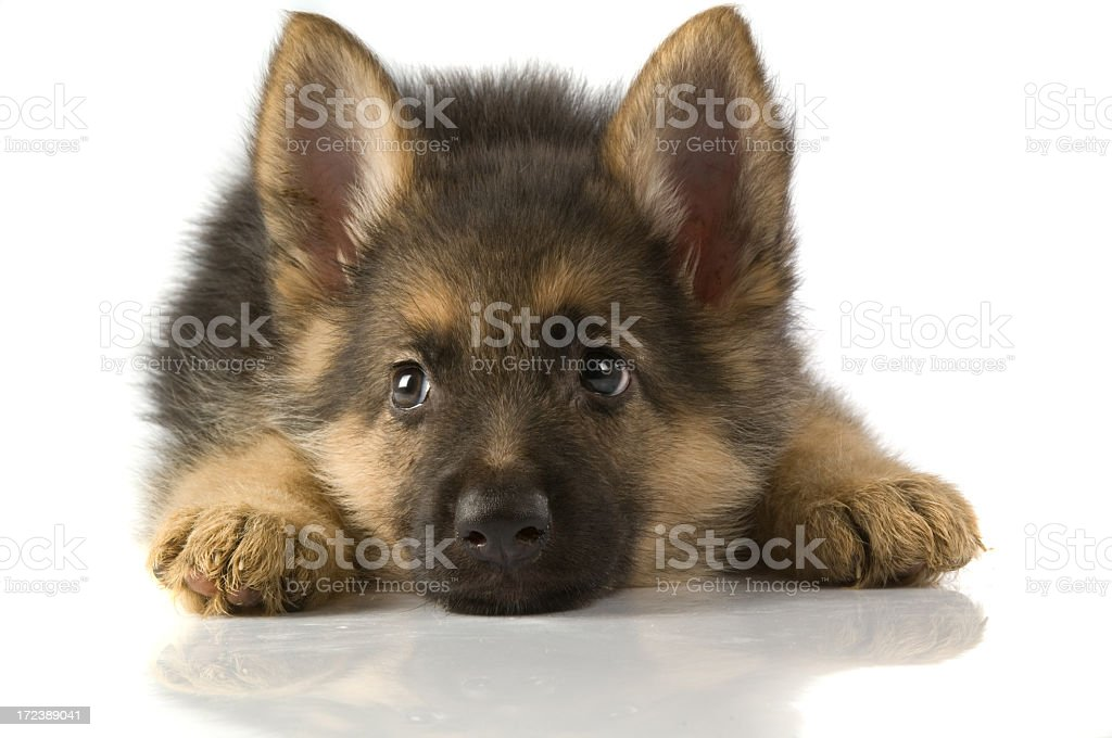 little police dog royalty-free stock photo