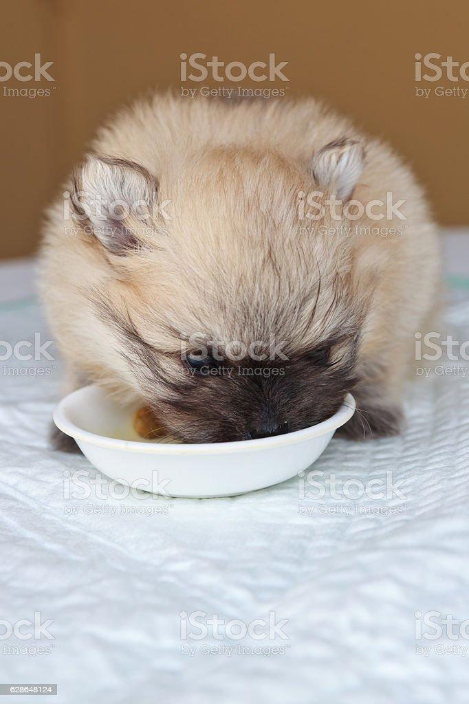 Little pomeranian puppy stock photo