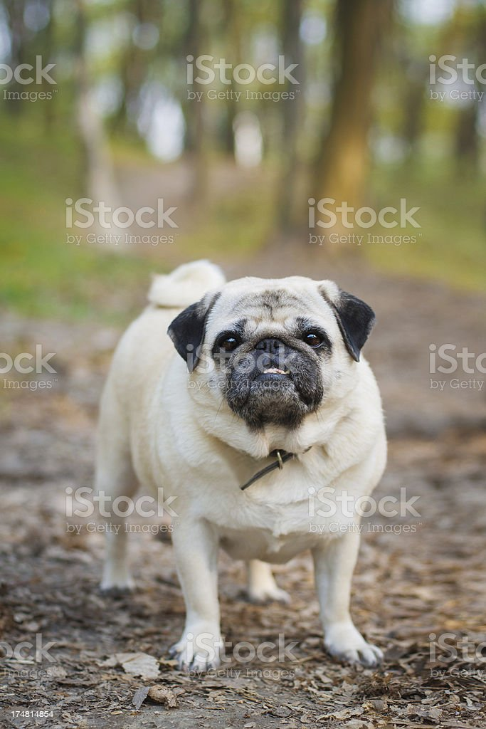 Little pug outdoors royalty-free stock photo