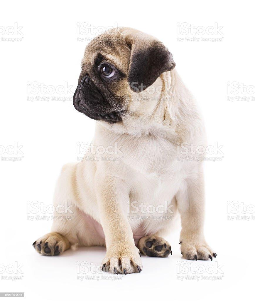 Little Pug stock photo