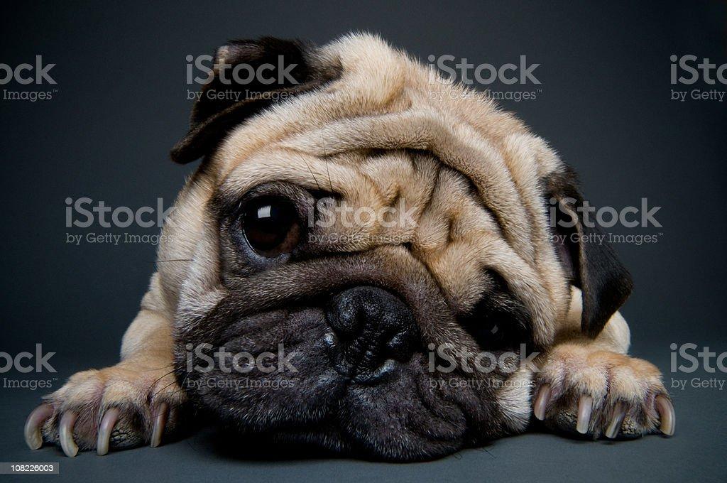 Little Pug Puppy Dog Laying Head on Floor stock photo