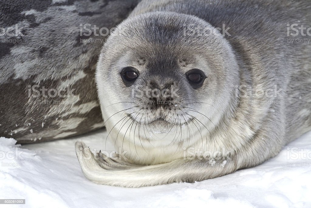 little pup Weddell seals which lies near the female stock photo