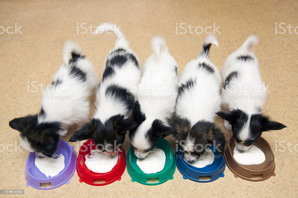 Little Puppies Papillon eating curd royalty-free stock photo