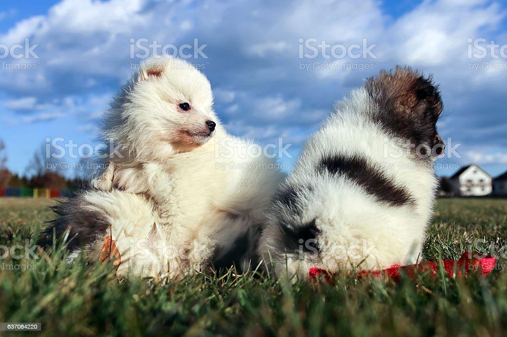 Little puppies. Pomeranian puppies playing outdoor Pomeranian spitz-dog stock photo