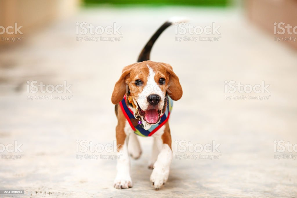 Little Puppy Beagle running zoom-in stock photo