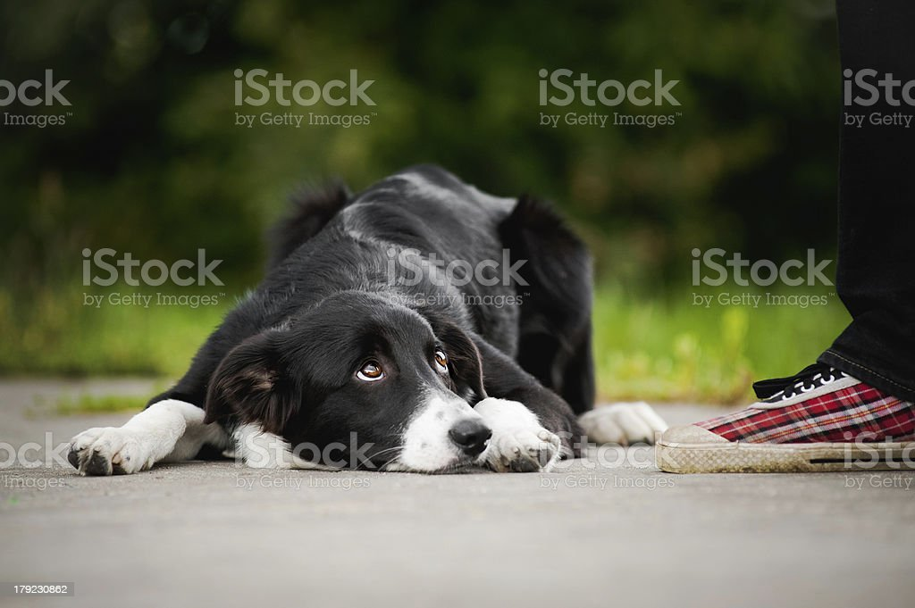 little puppy border collie lying near people foot stock photo