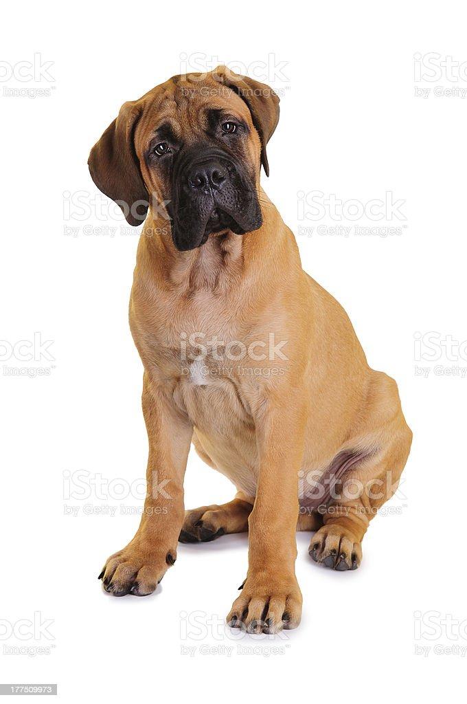 little puppy bullmastiff stock photo