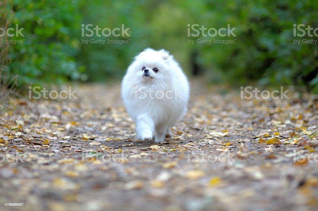 Little puppy of german spitz walking in park stock photo