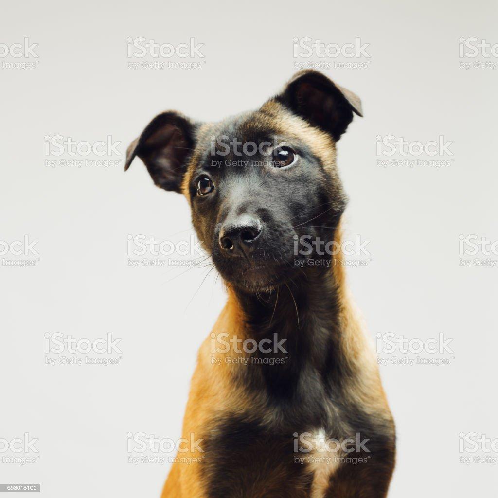 Little puppy of Malinois Belgian Berger stock photo