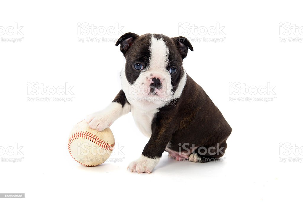 A little puppy playing with a baseball stock photo