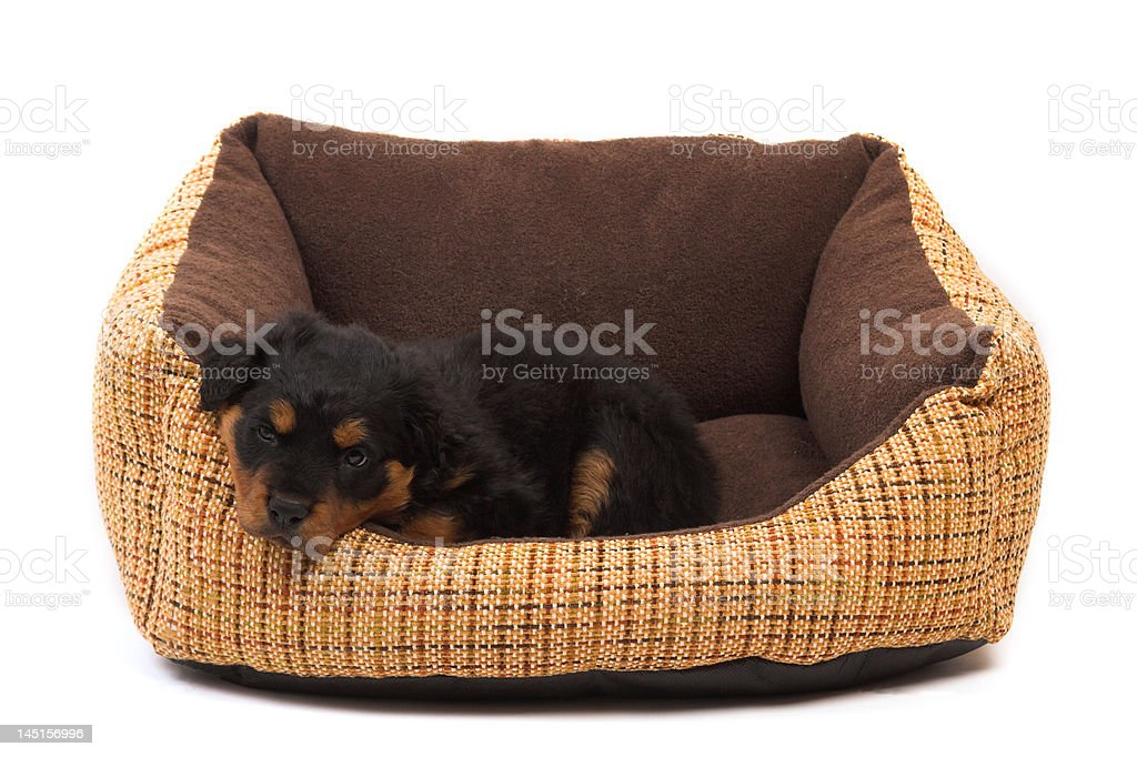 little puppy resting royalty-free stock photo