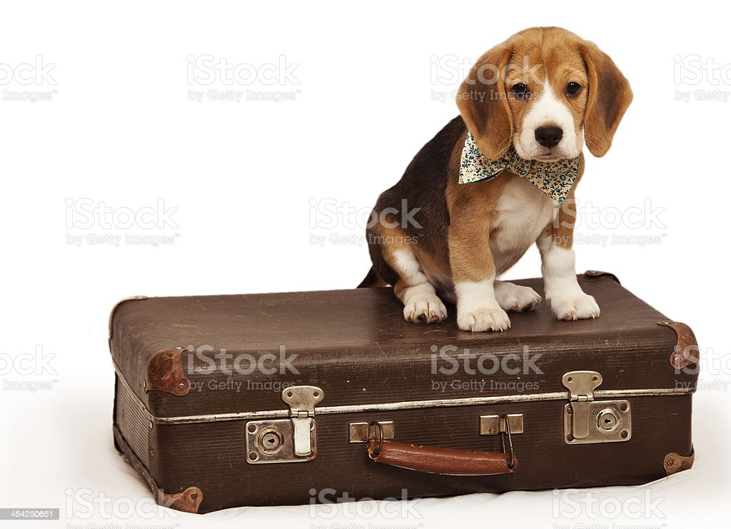 Little puppy sitting on the suitcase stock photo