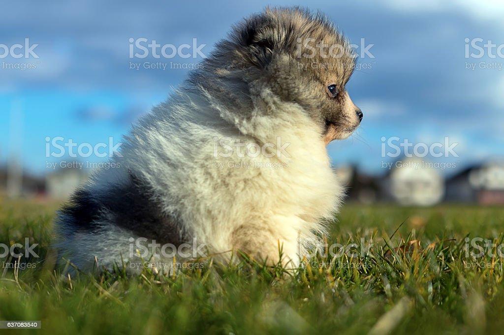 Little puppy. Small Pomeranian puppy Pomeranian spitz-dog stock photo